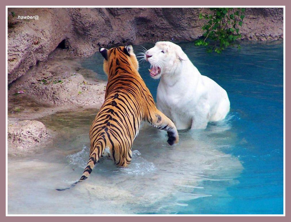 Fond ecran felins for Fond ecran animaux hd